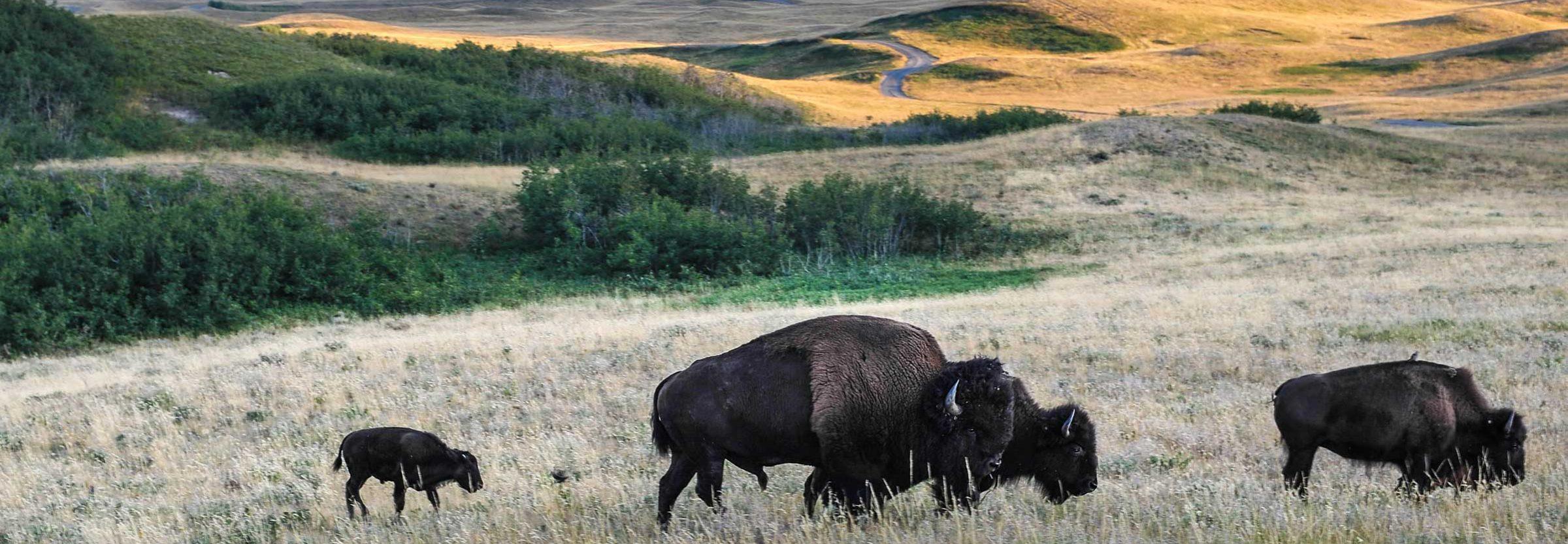 Bison in Waterton
